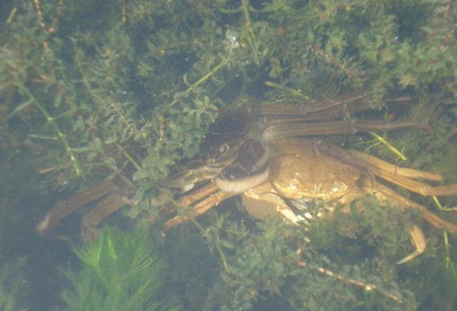 大闸蟹脱壳过程