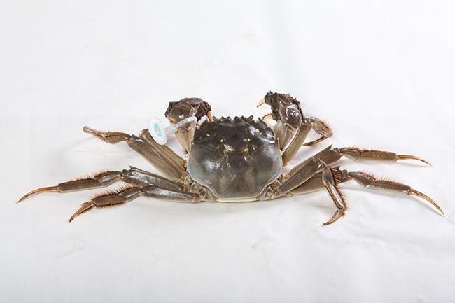 大闸蟹成名原因
