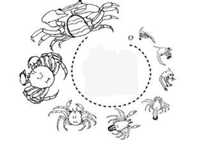 大闸蟹生长过程