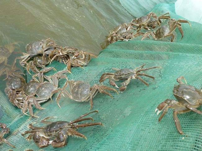 大闸蟹池塘养殖消毒管理