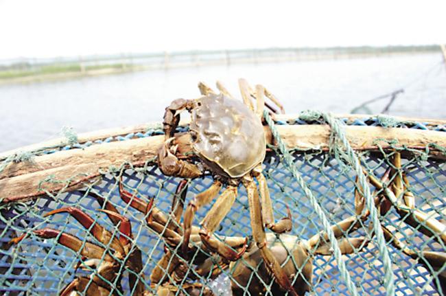 大闸蟹蟹苗养殖