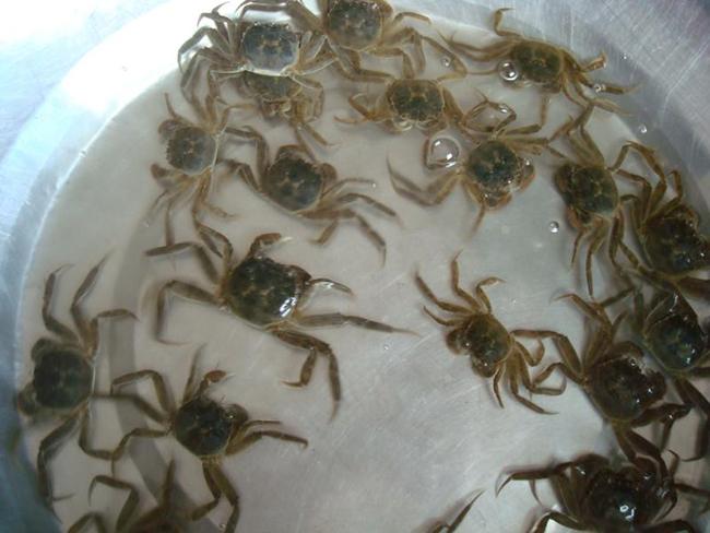 大闸蟹蟹苗培育