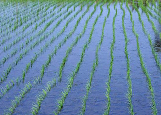 水稻栽培技术