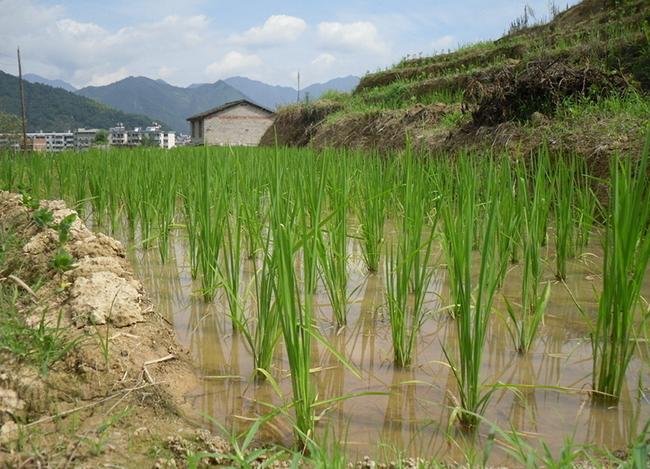 稻田养殖大闸蟹