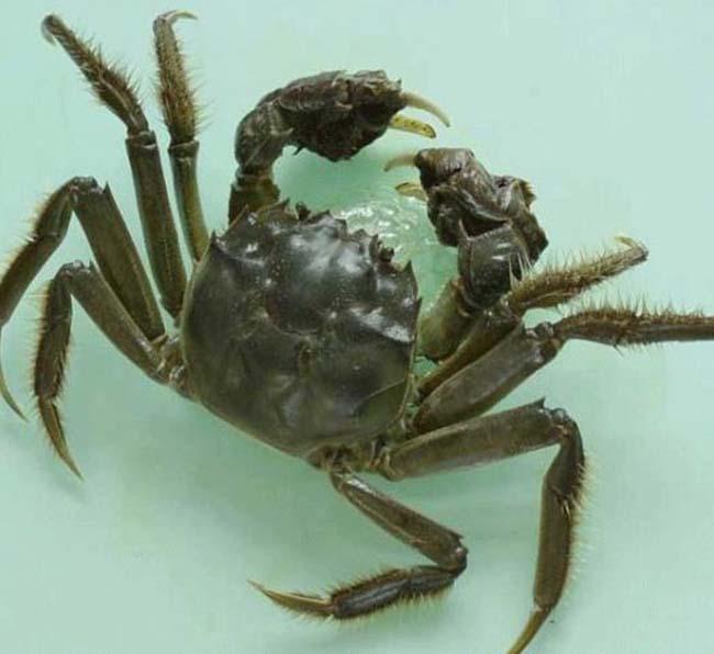大闸蟹养殖