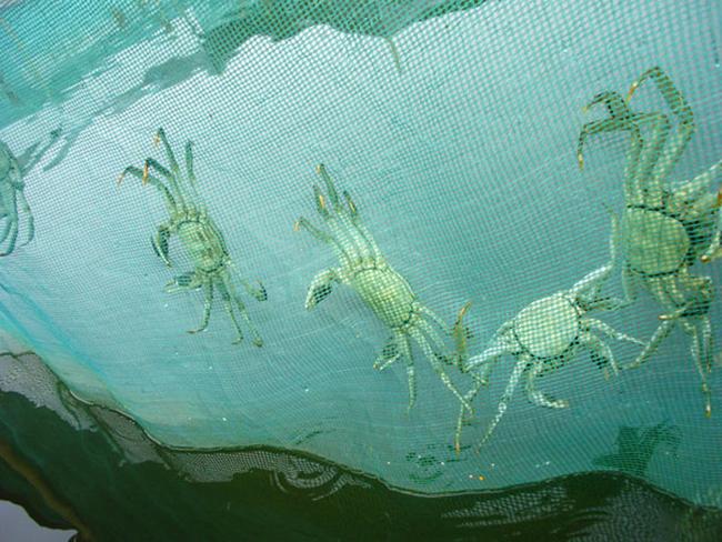河蟹人工催产方法