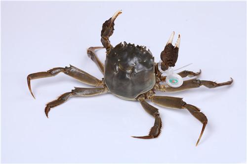判断大闸蟹是否新鲜