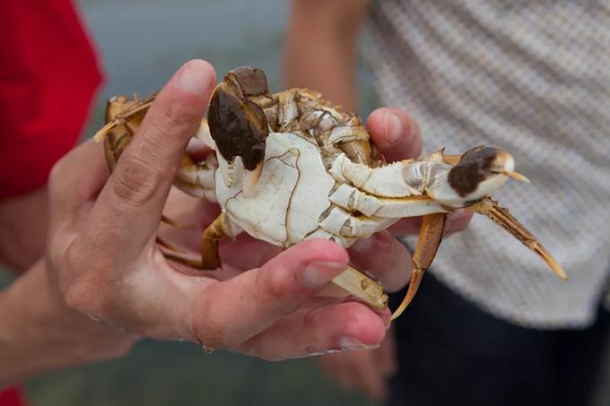 个大体肥的王氏名蟹