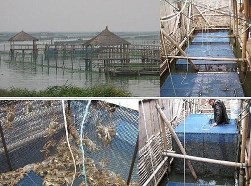 阳澄湖大闸蟹养殖技术