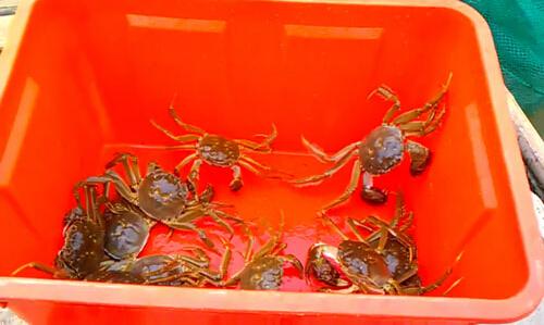 塑料桶保存阳澄湖大闸蟹