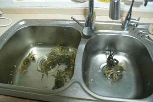 用浴缸做暂养池保存阳澄湖大闸蟹