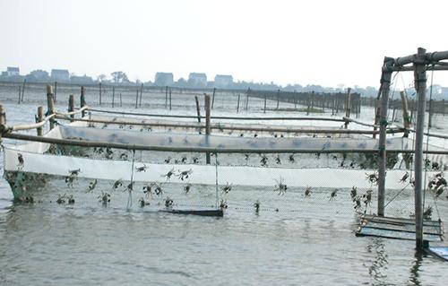 高温天气会影响阳澄湖大闸蟹的上市时间吗?
