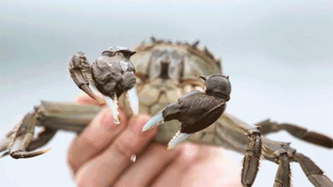 张牙舞爪的大闸蟹